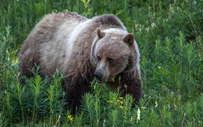 Picture greens, grass, bear, nature, brown