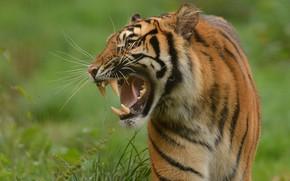 Picture tiger, predator, fangs, grin, wild cat