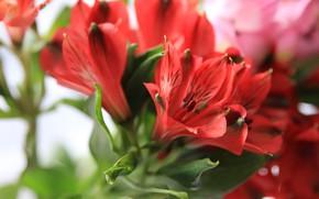Picture macro, red, Alstroemeria