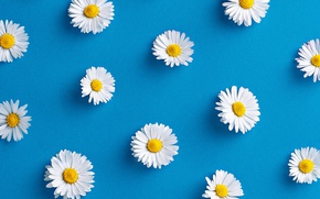 Picture flowers, background, chamomile