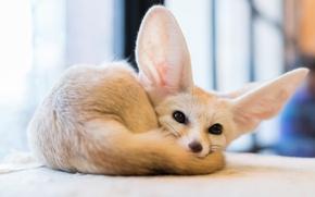 Picture eyes, Fox, fox, Fenech, Fennec