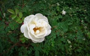 Picture flower, rose Bush, white rose, shrub rose