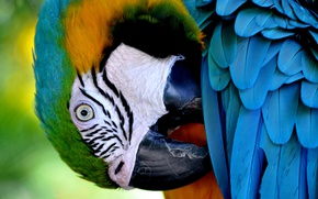 Picture bird, feathers, beak, parrot, blue-and-yellow macaw
