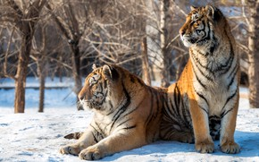 Picture winter, the sun, snow, trees, predators, two, tigers, bokeh