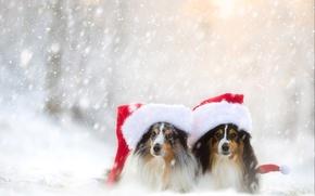 Picture winter, dogs, snow, a couple, caps, sheltie, Shetland Sheepdog