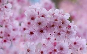 Wallpaper macro, cherry, spring, flowering, flowers