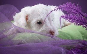 Picture white, cute, puppy, the Sealyham Terrier