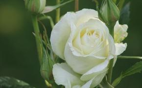 macro, rose, buds, white rose