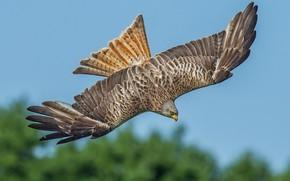 Picture bird, wings, predator, hunting