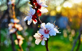 Picture macro, sunset, spring, petals, apricot, flowering