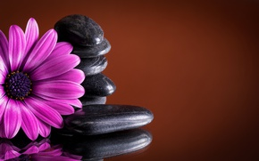 Picture stones, colorful, flowers, gerbera, purple, gerbera