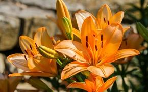 Picture Lily, orange, tiger