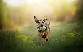Picture the ball, dog, running, weed, Phoebe