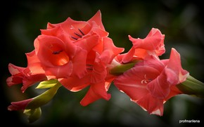 Picture red, Flower, flowering, Gladiolus