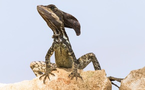 Wallpaper nature, lizard, Basilisk, Jezus Christ Lizard, Basiliscus basiliscus