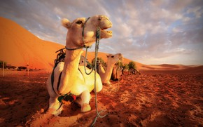 Picture nature, desert, camels