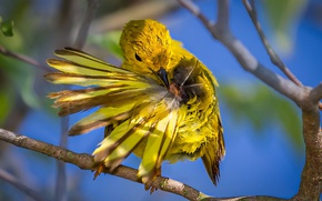 Picture bird, branch, feathers, yellow drevenica