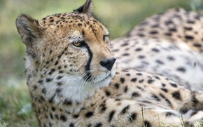 Picture face, predator, Cheetah, wild cat