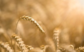 Picture wheat, field, spike