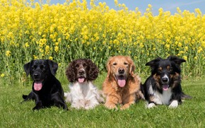 Picture Spaniel, four, on the grass, dogs, Labrador, The border collie, lie, rape, Retriever, greens, the ...