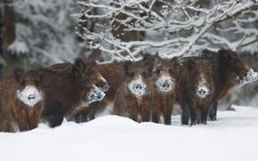 Picture winter, frost, snow, Estonia, boar, the herd, reserve, The Alam-Pedja
