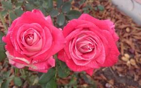 Picture roses, pair, red, Meduzanol ©