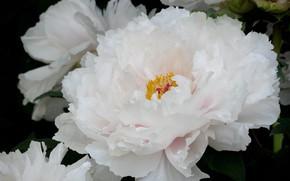 Picture white, macro, lush, peony