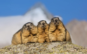 Picture mountains, Alps, marmot, rodent