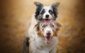 Wallpaper dogs, joy, a couple, friends, bokeh, two dogs, The border collie