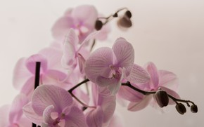 Picture flowers, pink, branch, Orchid