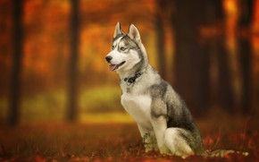 Wallpaper Husky, autumn, dog, bokeh