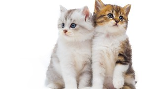 Picture white, background, kittens