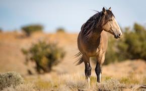 Picture horse, the wind, horse, mane, profile, wild, Dun