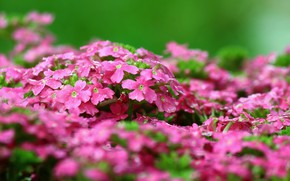 Picture pink, Flowers, spring, flowering