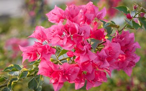 Picture flowers, pink, branch, flowering