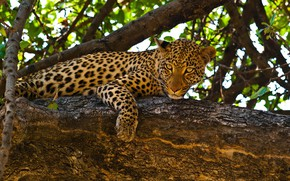 Picture leaves, branches, nature, predator, leopard, lies, on the tree