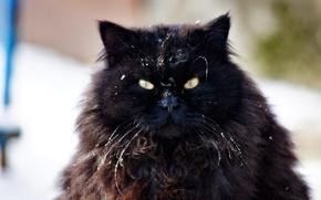 Picture cat, eyes, look, wool