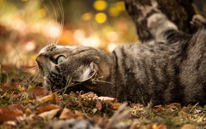 Picture bokeh, tabby cat, lying on her back, on earth