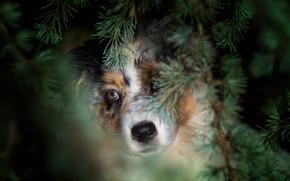 Wallpaper forest, eyes, look, face, branches, portrait, dog, puppy, needles, Australian shepherd, Aussie