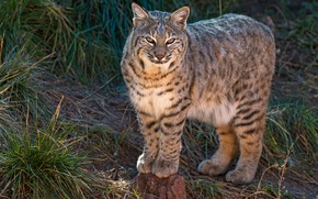 Wallpaper wild cat, predator, handsome