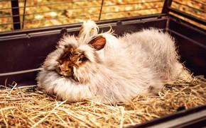 Picture Wallpaper, fluffy, rabbit, lies
