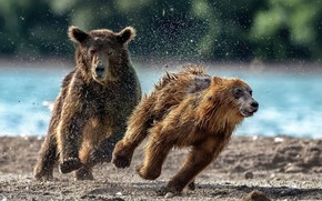 Picture squirt, bears, running