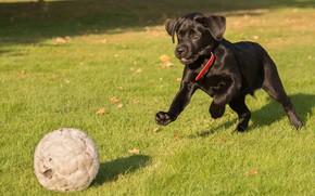 Picture grass, the game, the ball, puppy, Labrador Retriever