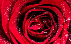 Picture flower, water, drops, rose, Bud, flowers, roses, buds