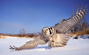 Picture winter, the sky, snow, owl, wings, white owl