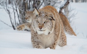 Picture winter, forest, cat, look, face, snow, background, lynx, wildlife