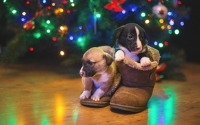 Picture dogs, lights, puppies, a couple, iGO