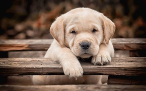 Picture look, Board, legs, dog, baby, puppy, face, Labrador Retriever