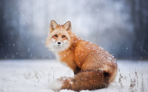Wallpaper winter, snow, Fox, Fox