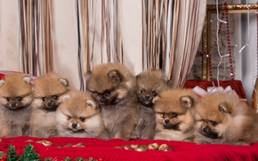 Picture puppies, seven, Spitz